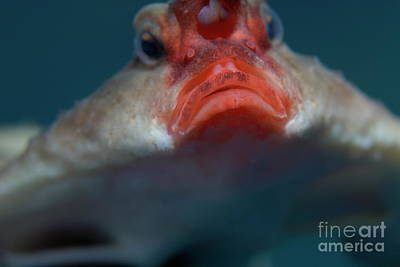 Red-lipped Batfish Art Print by Sami Sarkis