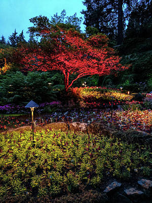 Photograph - Red Lite Japanese Maple At Dusk by Michael Bessler