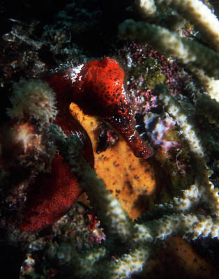 Photograph - Red Longsnout Seahorse, British Virgin Islands by Pauline Walsh Jacobson