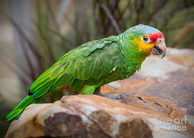 Red Lored Amazon Parrot Art Print by Jamie Pham