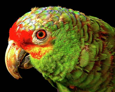 Photograph - Red-lored Parrot by Anthony Dezenzio