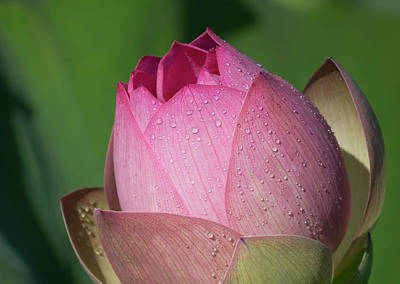 Photograph - Red Lotus Blossom by Jack Nevitt