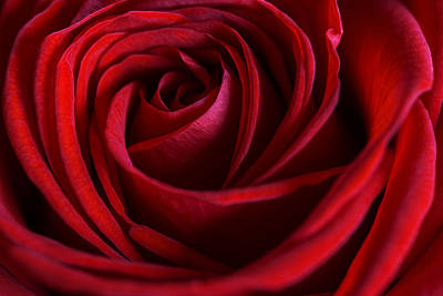 Photograph - Red Love by Cindy Grundsten