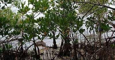 Photograph - Red Mangrove Bed by Christopher James