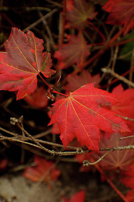 Photograph - Red Maple by Adria Trail