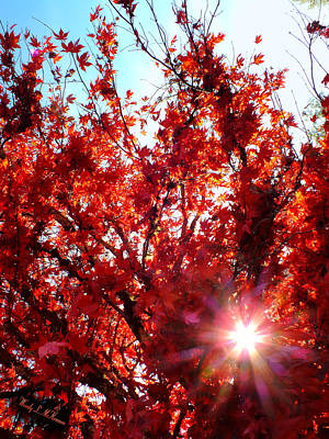 Photograph - Red Maple Burst by Wendy McKennon