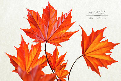 Maple Leaf Art Mixed Media - Red Maple by Christina Rollo
