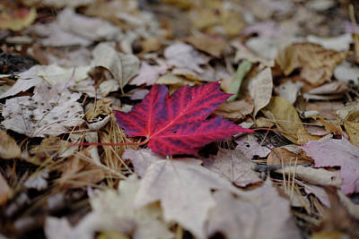 Photograph - Red Maple by Dan Poirier