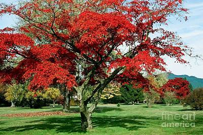 Photograph - Red Maple by Frank Townsley
