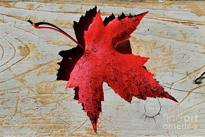 Photograph - Red Maple Leaf by Karen Adams