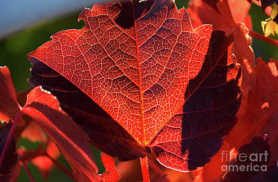 Photograph - Red Maple Leaf by Patti Whitten