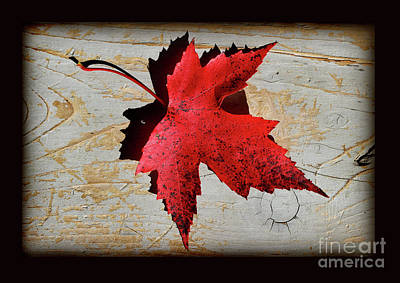 Photograph - Red Maple Leaf With Black Border by Karen Adams
