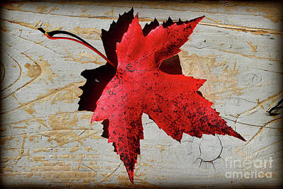 Photograph - Red Maple Leaf With Burnt Edge by Karen Adams
