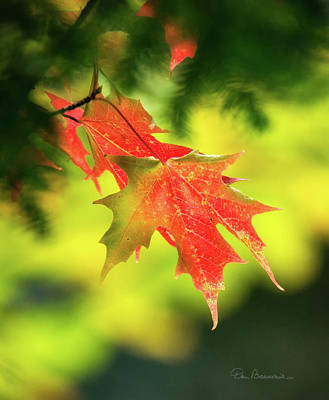 Dan Beauvais Royalty-Free and Rights-Managed Images - Red Maple Leaves 4983 by Dan Beauvais