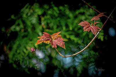 Photograph - Red Maple Leaves by Bill Posner