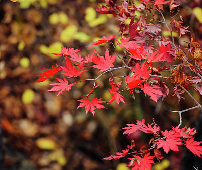 Photograph - Red Maple Leaves by Hyuntae Kim