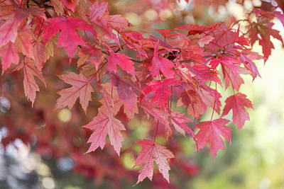 Photograph - Red Maple Leaves by James BO Insogna