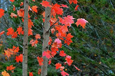 Digital Art - Red Maple Leaves On A Small Tree Three  by Lyle Crump