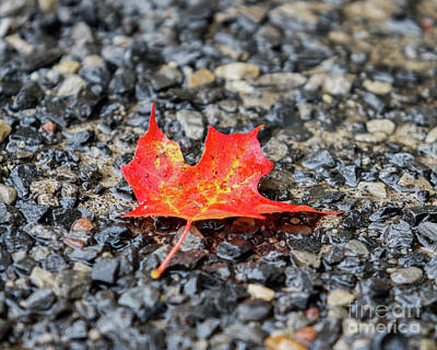 Photograph - Red Maple by Phil Spitze