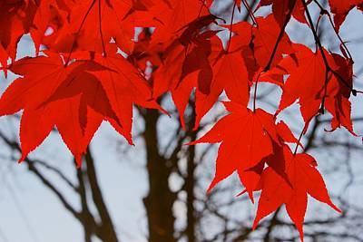 Photograph - Red Maple by Polly Castor