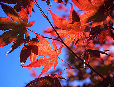 Fall Leaves Photograph - Red Maple by Rona Black