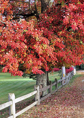 Photograph - Red Maple Tree by Janice Drew