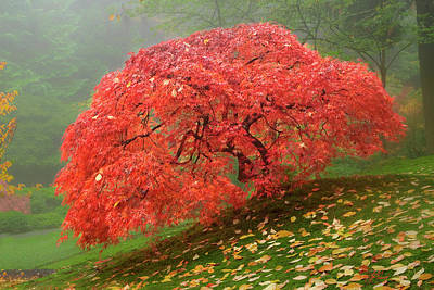 Photograph - Red Maple Tree by Lori Grimmett