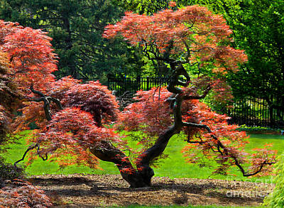 Photograph - Red Maple Tree by Roger Becker
