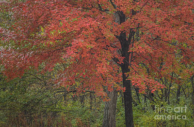 Photograph - Red Maple Tree by Tamara Becker