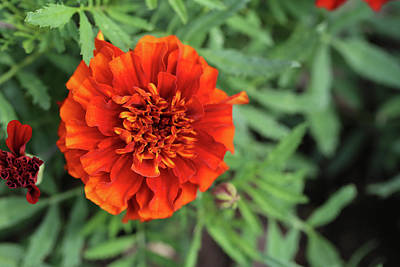Photograph - Red Marigold Dow Gardens 062618 by Mary Bedy