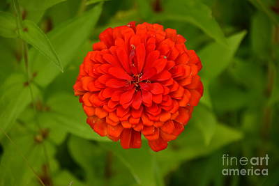 Photograph - Red Marigold by Mark McReynolds