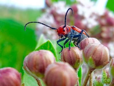 Red Milkweed Beetle Photograph - Red Milkweed Beetle by Mioara Andritoiu