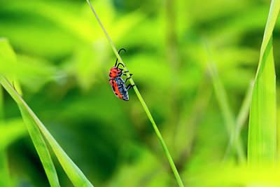 Red Milkweed Beetle Photograph - Red Milkweed Beetle by Photopoint Art