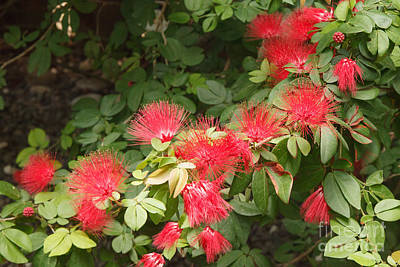 Photograph - Red Mimosa Flowers by Charles Kozierok