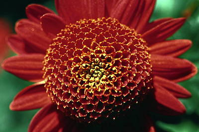 Art Print featuring the photograph Red Mum Center by Sally Weigand
