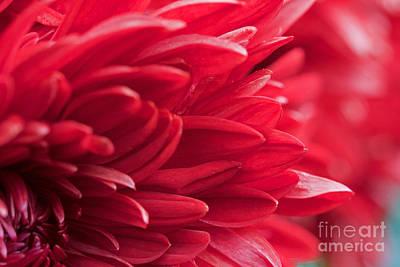 Photograph - Red Mum by Jim Gillen