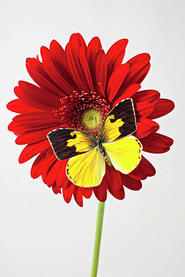 Flower Design Photograph - Red Mum With Dogface Butterfly by Garry Gay