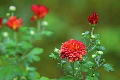 Photograph - Red Mums by Rick Friedle