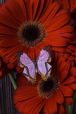Gerbera Daisy Photograph - Red Mums With Exotic Butterfly by Garry Gay