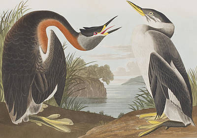 Chirp Painting - Red Necked Grebe by John James Audubon
