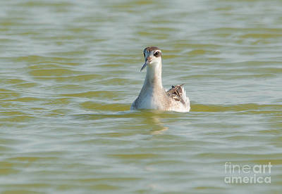 Photograph - Red-necked Phalarope by Charles Owens