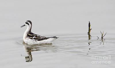 Photograph - Red-necked Phalarope by Elizabeth Winter