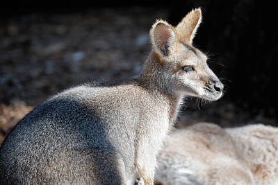 Photograph - Red Necked Wallaby by Nicholas Blackwell