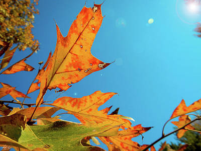 Photograph - Red Oak Autumn Leaves by Phil Rispin
