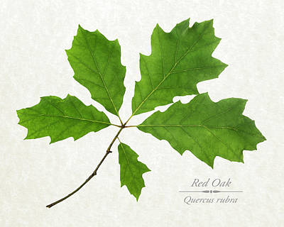 Photograph - Red Oak Leaves by Christina Rollo