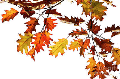 Quercus Photograph - Red Oak Leaves In Fall by Tim Gainey