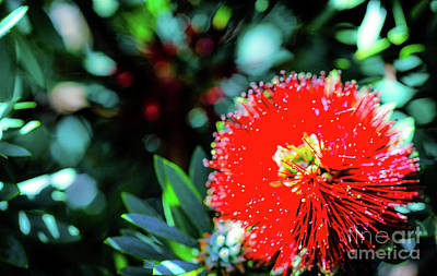 Photograph - Red Ohia Plants And Flowers  by D Davila