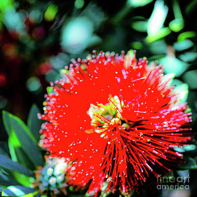 Photograph - Red Ohia - Tropical Hawaii Plants And Flowers by D Davila