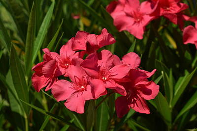 Photograph - Red Oleander 1 by Nina Kindred
