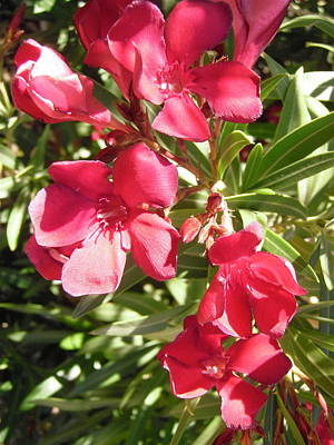 Photograph - Red Oleanders by Stephanie Moore